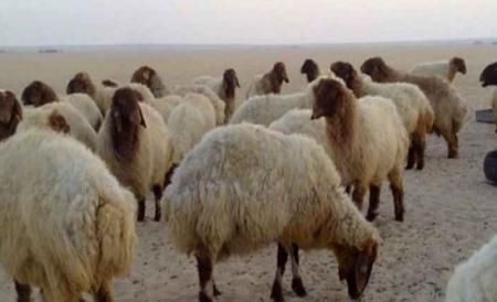 انخفاض أعداد الأغنام في الأردن إلى 4,300 مليون رأس