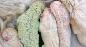 """ولادة كلب """"أخضر"""" في إيطاليا"""