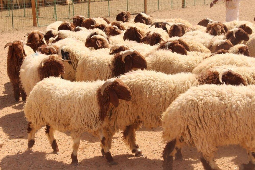 شديفات: تصدير (90 الف رأس اغنام) للاسواق الخليجية